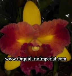Blc Tropical Sunset (Adulta)