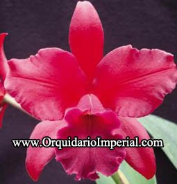 Blc. Nobile's Bruno Bruno (Adulta)
