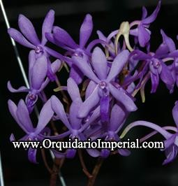 Darwinara Charm Blue Star (Adulta)