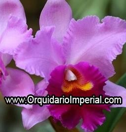 Blc Strath Fair Moon Beach  (Adulta)