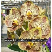 Ascda. Kulvadee Fragrance 'Golden Brown' (Adulta)
