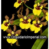 Oncidium croesus (Adulta)