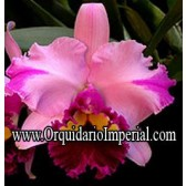 Blc. Dream Paradise (Adulta)