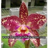 Blc. Durigan 'Cruzeiro do Sul' (Adulta)