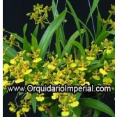 Oncidium longipes(Adulta)