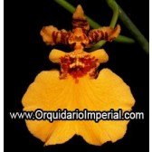 Oncidium Gower Romsay 'Sunkist' (Adulta)