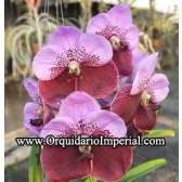 Vanda Pimchai Beauty V. Leenawat (Adulta)
