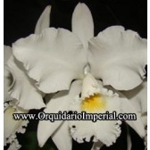 Cattleya warnerii alba  (2017)